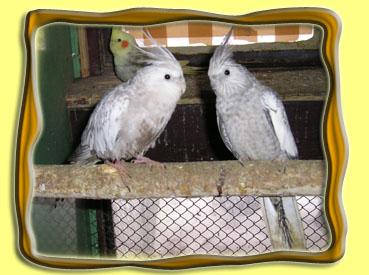 http://www.aratinga.unas.cz/fotogalerie/korela.jpg
